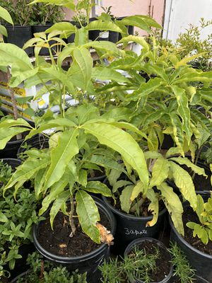 Zapote plants for Sale in National City, CA