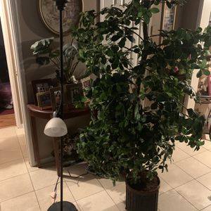 Large Plant (ON HOLD) for Sale in Norwalk, CA