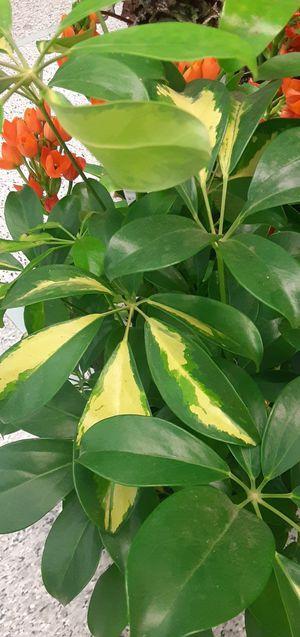 Umbrella plant for Sale in Hayward, CA