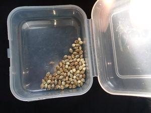Euphoria Seeds for Sale in Jenison, MI