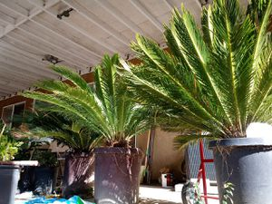 Mini Palm Plant 4 ft tall for Sale in Moreno Valley, CA
