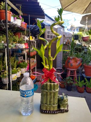 LUCKY BAMBOO PLANT for Sale in Paramount, CA