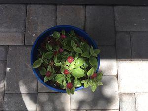 Aptenia cordifolia variegata baby sun rose succulent plant for Sale in Houston, TX
