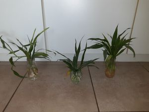 Bamboo plant for Sale in Aloma, FL