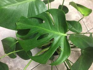 """$40 Monstera deliciosa 10 """" pot full plant for Sale in Moreno Valley, CA"""