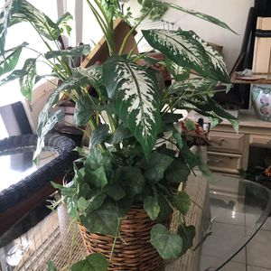 Fake Plant for Sale in Fort Lauderdale, FL