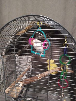Blue parakeet for Sale in Sioux City, IA