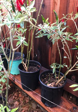 Chili Plants - Potted for Sale in Moreno Valley, CA