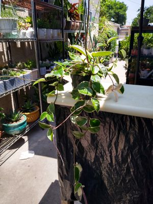 HOYA WAX PLANT for Sale in Compton, CA