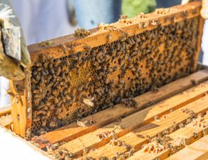 Bees for sale!!!! for Sale in Harrisonburg, VA