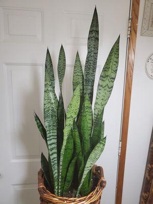 Beautiful Tall Succulents Snake Plant. ((Read Full Description)) for Sale in Phoenix, AZ