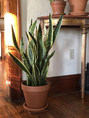 """House Plant """"Snake Plant"""" for Sale in Tampa, FL"""