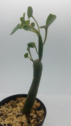Senecio articulatus for Sale in Quincy, MA