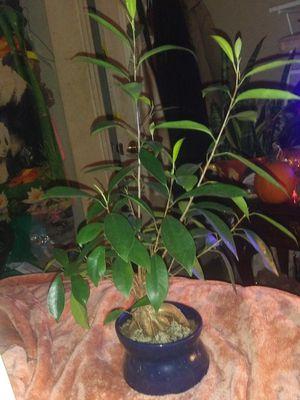 Bonsai tree plant good healthy plant for Sale in Murfreesboro, TN