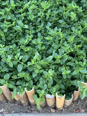 Red Apple ice plant Aptenia Cordifolia plant clippings ground cover for Sale in San Jose, CA