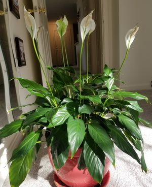 Peace lily plant with beautiful pot. Moving sale! for Sale in NO POTOMAC, MD