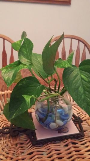 Potho plant for Sale in Portland, OR
