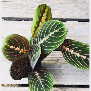 Red prayer plant (maranta) for Sale in Washington, DC