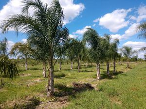 Queen palms delivered and planted 15 foot tall for Sale in Tampa, FL