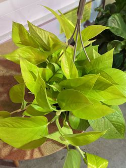 Pothos Neon Plant for Sale in Vancouver,  WA