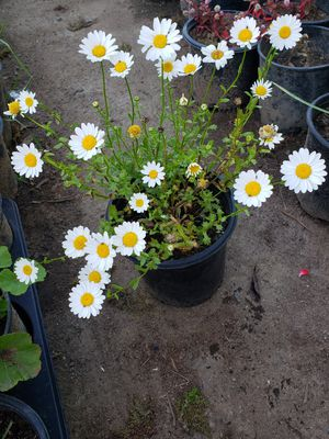 White flower plant for Sale in Fresno, CA
