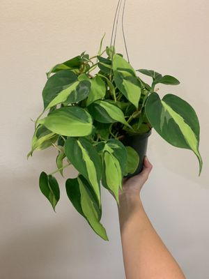 Huge full pot of philodendron Brazil for Sale in Santa Ana, CA