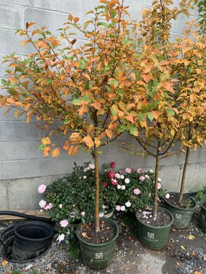 Cranberry tree for Sale in Hartford, CT