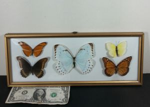 Vintage Framed Natural Butterfly Collection Taxidermy for Sale in St. Petersburg, FL
