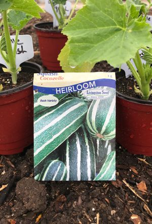 Squash plants cocozelle varitie for Sale in Colorado Springs, CO