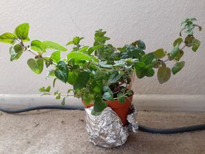 """GARDEN READY ORGANIC HOME GROWN OREGANO PLANTS ALREADY BLOOMING 7"""" TALL for Sale in Shadow Hills, CA"""