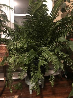 Large fern in ceramic pot Houseplant for Sale in Waterford, CT