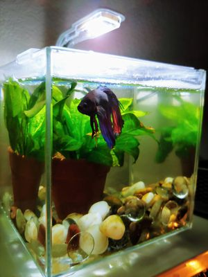 Two beta tanks with Male Betas Complete for Sale in Tacoma, WA