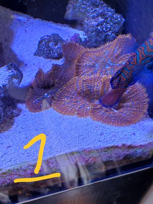 Fish tank Reef corals for Sale in Anaheim, CA