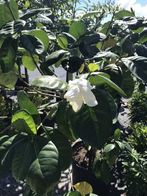 Gardenia tree for Sale in Miami, FL