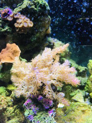 Coral for Sale in Boca Raton, FL
