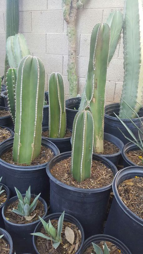 Mexican Fence Post Cacti For Sale In Surprise Az Offerup