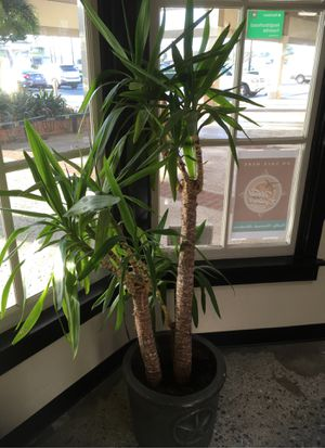 Potted plant for sale for Sale in Huntington Beach, CA