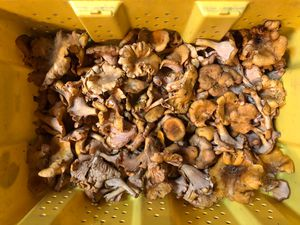 Chanterelle mushrooms for Sale in Sumner, WA