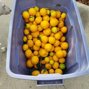 Free Lemons for Sale in Pomona, CA