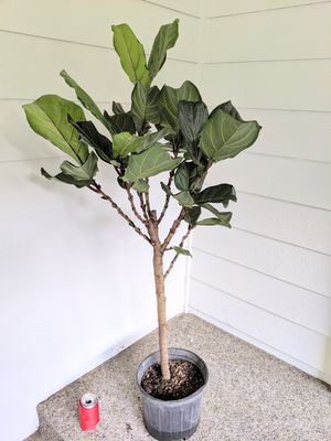 "54"" tall Ficus Fiddle Leaf Fig Plant Tree- Real Indoor House Plant for Sale in Auburn, WA"