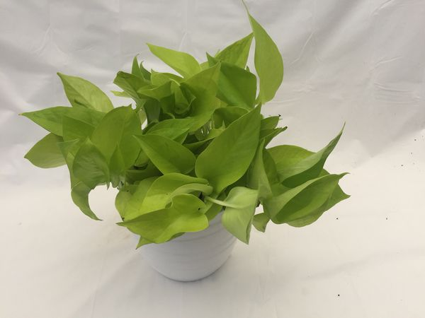 Neon Pothos Plant Large Vine Trailing Plant 6inch Pot For