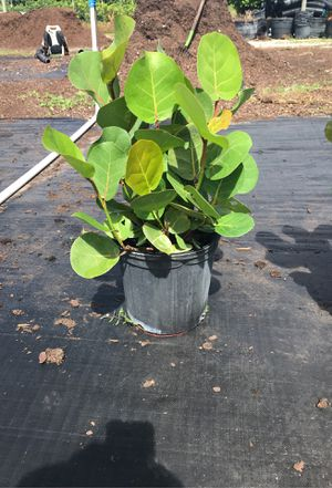 Sea grape very full all the way around for Sale in Homestead, FL