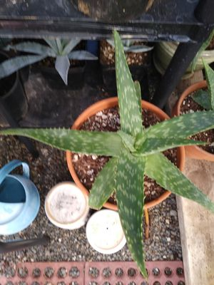 Aloe for Sale in Vancouver, WA