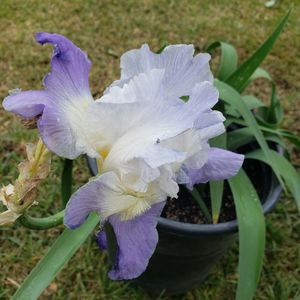 Iris for Sale in Colton, CA