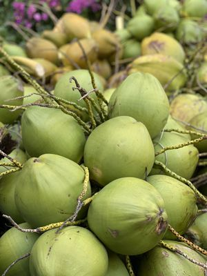 Over a 1,000 Fresh harvested coconuts only .50c each for Sale in Sebastian, FL