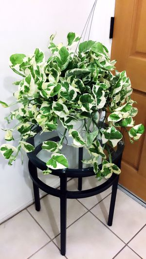 This Wide🌱Healthy 🌱Fresh🌱Beautiful N Joy Pothos Plant Will Gives Out More Good Air For Your Home - Plant only - PLANTER IS NOT INCLUDED for Sale in Garden Grove, CA