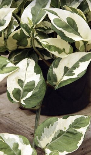 Pothos Pearl & Jade Vining beautiful House Plant Live Decor in 4 inch pot for Sale in Santa Rosa, CA