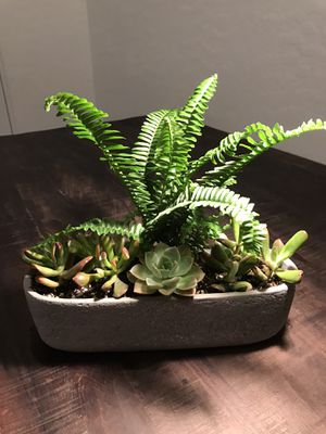 Succulent and fern for Sale in Las Vegas, NV