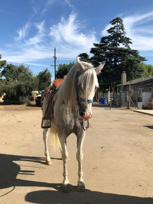 Vendo caballo 3 cuartos andaluz. En $3.800 tiene 7 years .es de baile y tiene mucho temperamento. for Sale in Lake View Terrace, CA