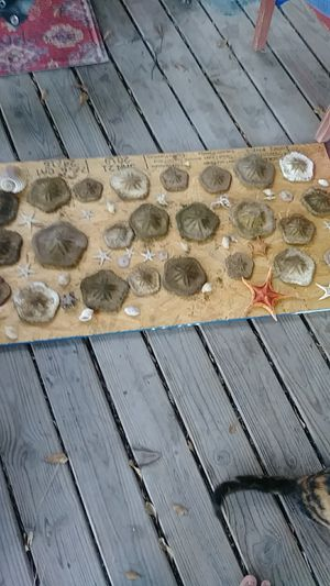 Jumbo sand dollars for Sale in Victoria, TX